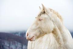 与蓝色的眼睛的白变种马 库存照片