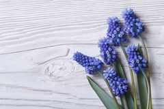 与蓝色的美好的花卉框架开花穆斯卡里 免版税图库摄影