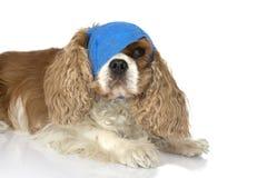 与蓝色绷带的病的骑士狗在头和眼睛干燥鼻粘液ISO 库存照片