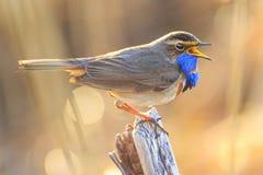 与蓝色羽毛的春天鸟唱歌曲 库存图片