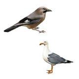 与蓝色羽毛的野生鸟在whings,白色 库存图片