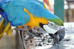 与蓝色翼吃的黄色金刚鹦鹉 免版税库存图片
