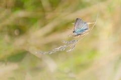 与蓝色翼的一只小蝴蝶坐一个金黄小尖峰在草地早熟禾 夏天或秋天大气 库存照片