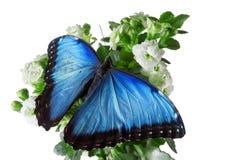 与蓝色翼的一只蝴蝶坐花 隔绝在白色背景,演播室摄影 库存照片