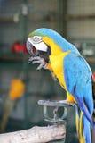 与蓝色翼的黄色金刚鹦鹉舔腿的 库存照片