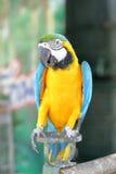 与蓝色翼的黄色金刚鹦鹉 免版税库存照片