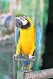 与蓝色翼的黄色金刚鹦鹉 库存照片