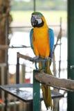 与蓝色翼的黄色金刚鹦鹉 免版税库存图片