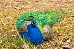 与蓝色胸口的一个大孔雀 库存照片