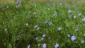与蓝色花和绿色词根的胡麻多年生植物在狂放的干草原 股票录像