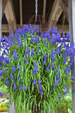 与蓝色花的垂悬的篮子 库存图片
