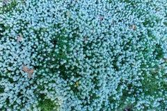 与蓝色花的大灌木在森林或公园里 库存图片