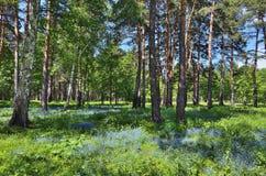 与蓝色花的美好的夏天风景在森林里 图库摄影