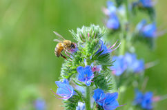 与蓝色花的蜂和植物Echium vulgare 免版税库存照片