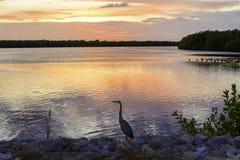 与蓝色苍鹭的野生生物日落 免版税图库摄影