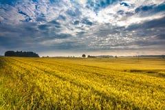 与蓝色被覆盖的天空的金黄麦田 免版税库存照片