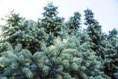 与蓝色针的树 库存图片