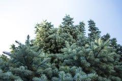 与蓝色针的树 免版税库存照片