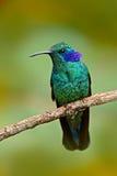 与蓝色面孔的美丽的绿色蜂鸟 绿色紫罗兰色耳朵, Colibri thalassinus,与绿色事假的蜂鸟在自然生态环境 库存图片