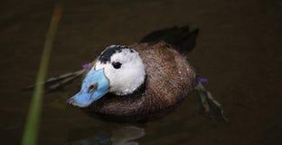 与蓝色额嘴的鸭子 免版税库存图片