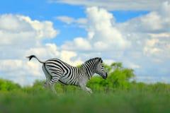 与蓝色风暴天空的斑马 Burchell ` s斑马,马属拟斑马burchellii,恩克塞盐沼国家公园,博茨瓦纳,非洲 在Th的野生动物 免版税库存照片