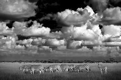 与蓝色风暴天空的斑马 Burchell ` s斑马,马属拟斑马burchellii,恩克塞盐沼国家公园,博茨瓦纳,非洲 在Th的野生动物 库存图片
