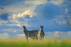 与蓝色风暴天空的斑马 Burchell ` s斑马,马属拟斑马burchellii,恩克塞盐沼国家公园,博茨瓦纳,非洲 在Th的野生动物 图库摄影