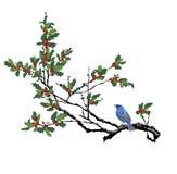 与蓝色鸟的冬青树 被隔绝的冬青树分支 库存照片