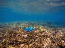 与蓝色鹦嘴鱼的水下的风景 热带海滨海里的照片 免版税库存照片