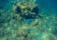 与蓝色鹦鹉鱼的水下的风景在珊瑚礁 在热带海底的生长珊瑚 图库摄影