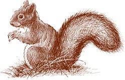 与蓬松尾巴的灰鼠 库存图片