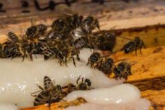 与蔗糖的哺养的蜂在蜂房的蜂窝框架 免版税库存图片