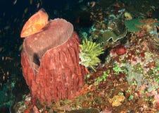 与蕃茄石斑鱼的巨型桶海绵 免版税库存图片