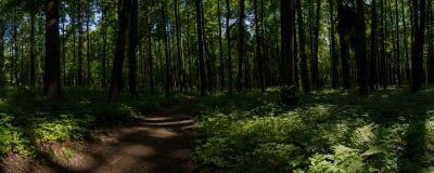 与蕨和一串足迹的风景在森林在一个晴天 阿尔汉格尔斯克州村庄  俄国 图库摄影