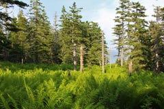 与蕨的一个幽谷在海边森林里在Louisburg,布雷顿角岛附近的晚上 免版税库存照片
