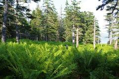 与蕨的一个幽谷在Louisburg,布雷顿角岛附近的海边森林里 免版税库存图片
