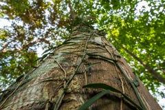 与藤的大树在森林和叶子和天空bokeh里 免版税库存图片