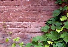 与藤的砖墙 免版税库存图片