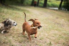 与藤茎的达克斯猎犬在他的演奏追上的牙 库存图片