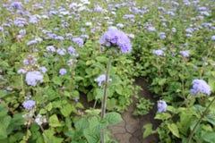 与藿香蓟属houstonianum紫罗兰色花的笔直词根  库存图片