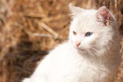 与虹膜异色症的白色猫 免版税库存照片