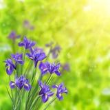 与虹膜的春天背景 库存图片