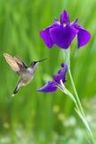 与虹膜花的蜂鸟在绿色背景 免版税库存照片