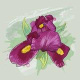 与虹膜花的贺卡卡片 免版税库存照片