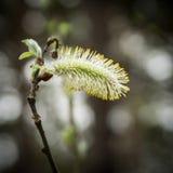与蚂蚁的开花的褪色柳柳属在分支 免版税库存图片