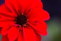与蚂蚁的红色大丽花留下特写镜头 免版税库存图片