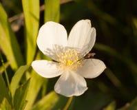 与蚊子的加拿大银莲花属在早晨光 库存图片