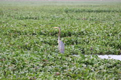 与蛇头的鸭子 免版税库存图片