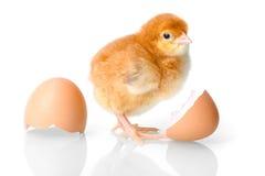 与蛋壳的布朗新出生的鸡 库存照片