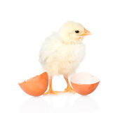 与蛋壳的婴孩鸡 背景查出的白色 免版税库存图片
